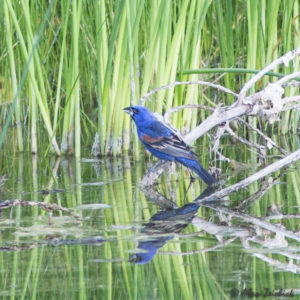 blue-grosbeak