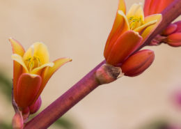 Red Yucca Flower